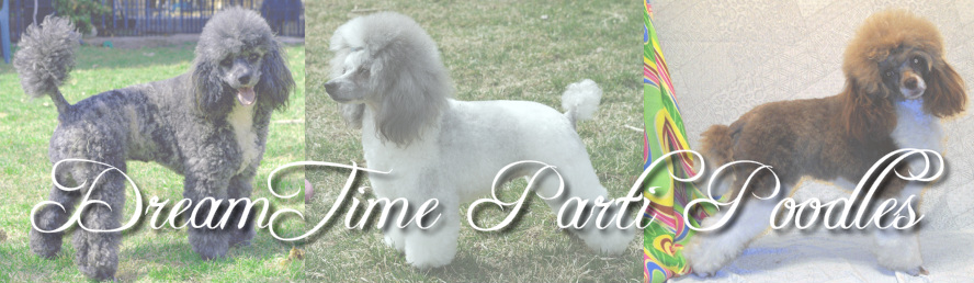 DreamTime Parti Poodles - Welcome To DreamTime Parti Poodles